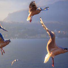 Vogels Comomeer